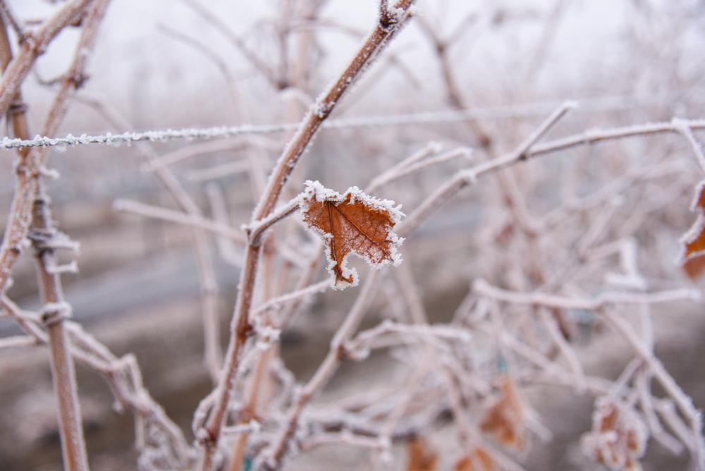 Geada tardia na primavera atinge folhas e ramos que crescem após o inverno e pode levar a videira à morte. (Fonte: Shutterstock/Shutterstock/Jenell Kasper/Reprodução)