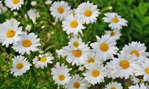 Daises flower