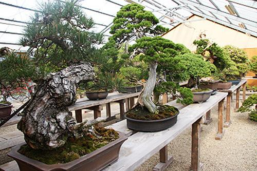bonsai display