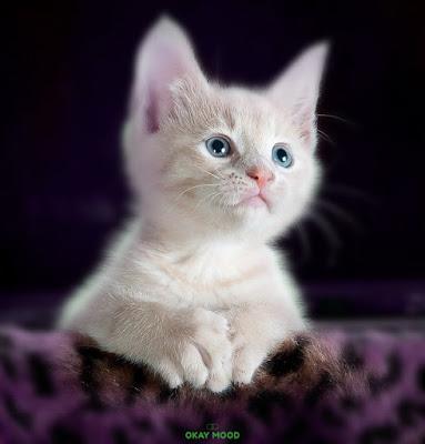 small Shirazi cats