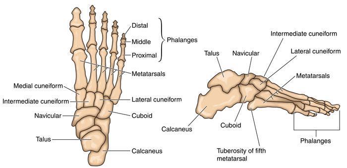 ayak kemikleri ile ilgili görsel sonucu