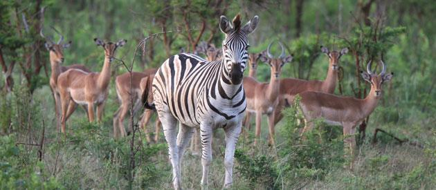 Image result for umfolozi game reserve photo