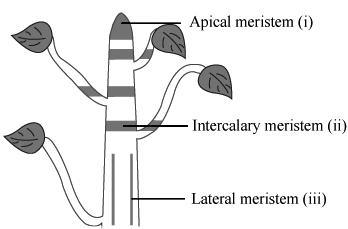 show the location of meristematic tissues with a diagram ...
