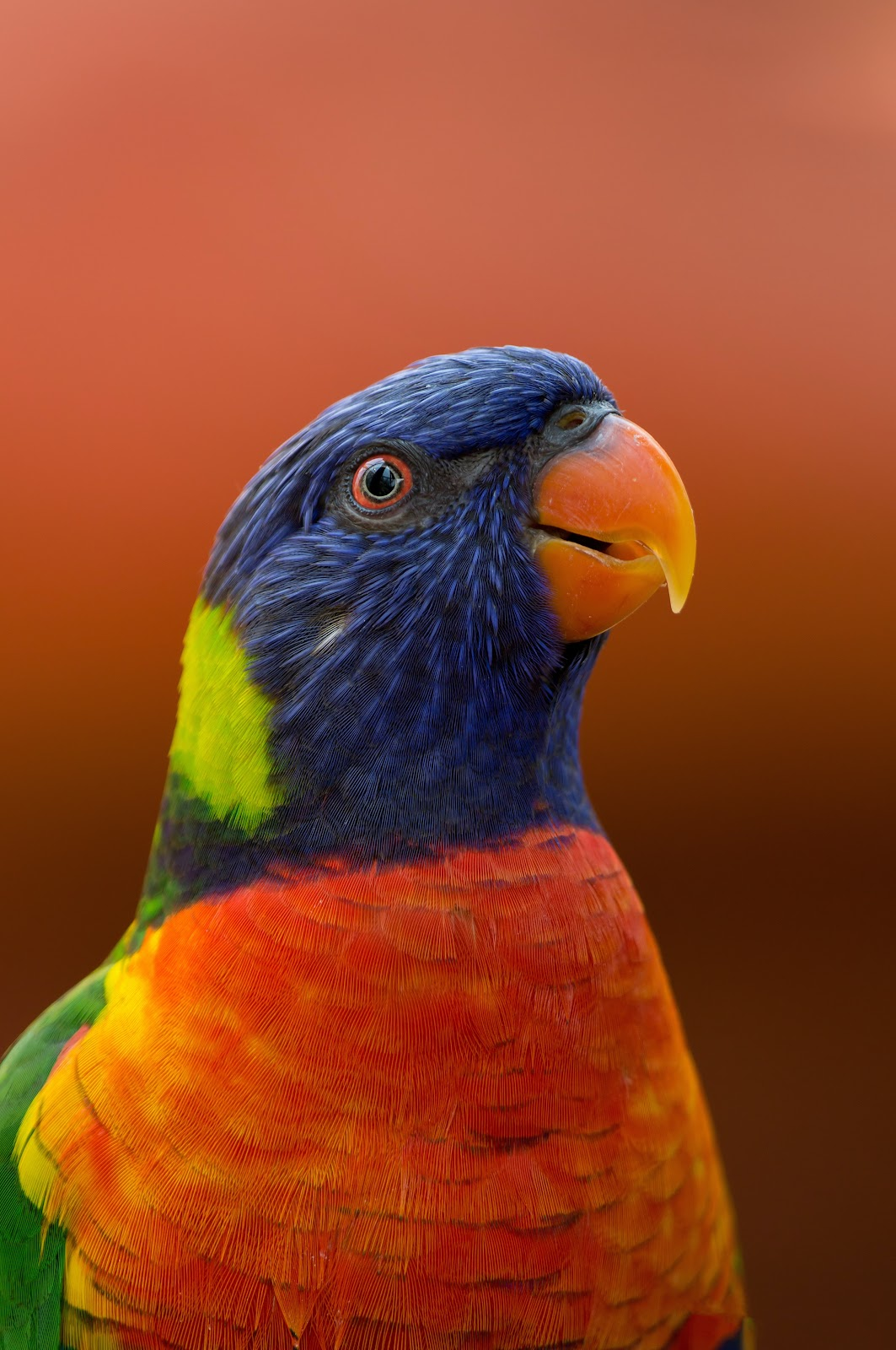 parrot with blue, red and green feathers