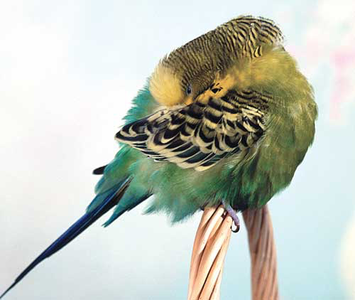 The budgerigar (Melopsittacus undulatus) is the most popular pet parrot in the world