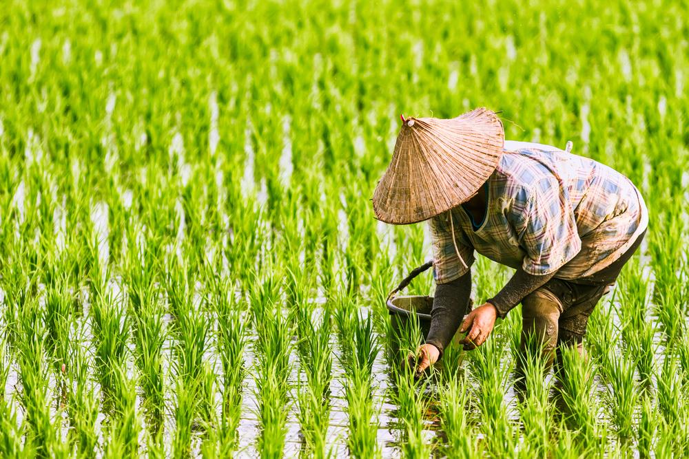Crise hídrica na Tailândia e Vietnã aumenta preço do arroz no Brasil. (Fonte: Shutterstock/Fenilo Q/Reprodução)