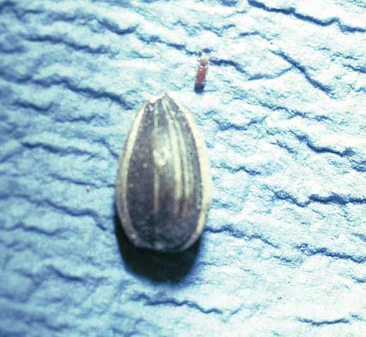 """Seeds infested by insect larvae that hatch often become """"webby"""" due to a fungus and can produce mycotoxins"""
