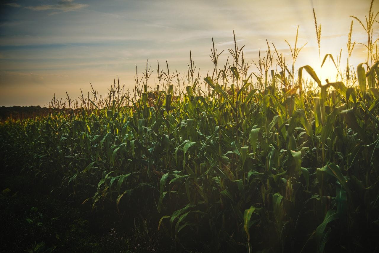 Demanda por milho deve aumentar no mercado externo