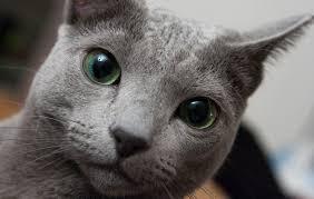 ผลการค้นหารูปภาพสำหรับ ฟาร์มแมว รัสเซียนบลู