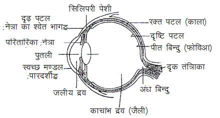http://www.knowledgeuniverseonline.com/images/physics/h_eye-structure.png