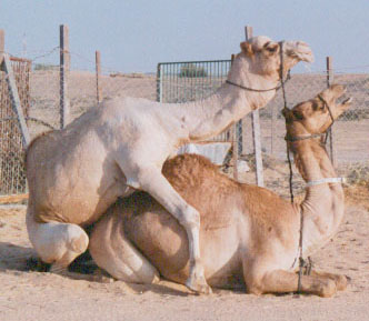 Copulation in camels takes place in the crouched position. The male continually grinds his teeth and dribbles copious amounts of saliva over the female.