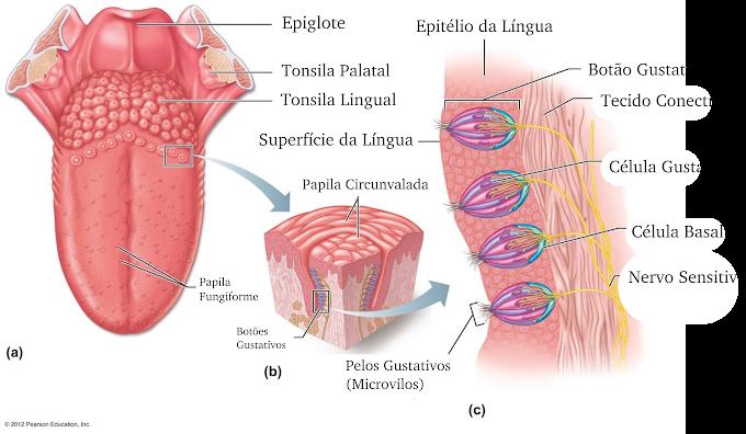 Fisiologia | Órgãos dos Sentidos