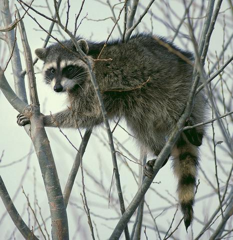 http://www.drkaae.com/sites/default/files/styles/large/public/raccoon.jpg?itok=oTtd1UHF