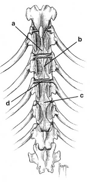 The intrinsic ligaments of the spinal column