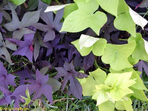 :Plant Images:Sweet Potato vine, purple and green.jpg