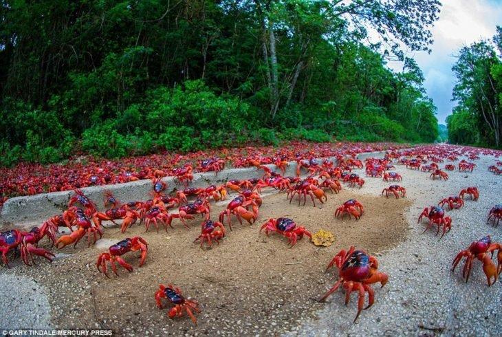 migração de caranguejo