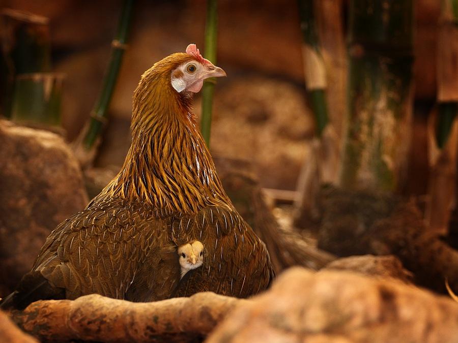 hen,chick.jpg