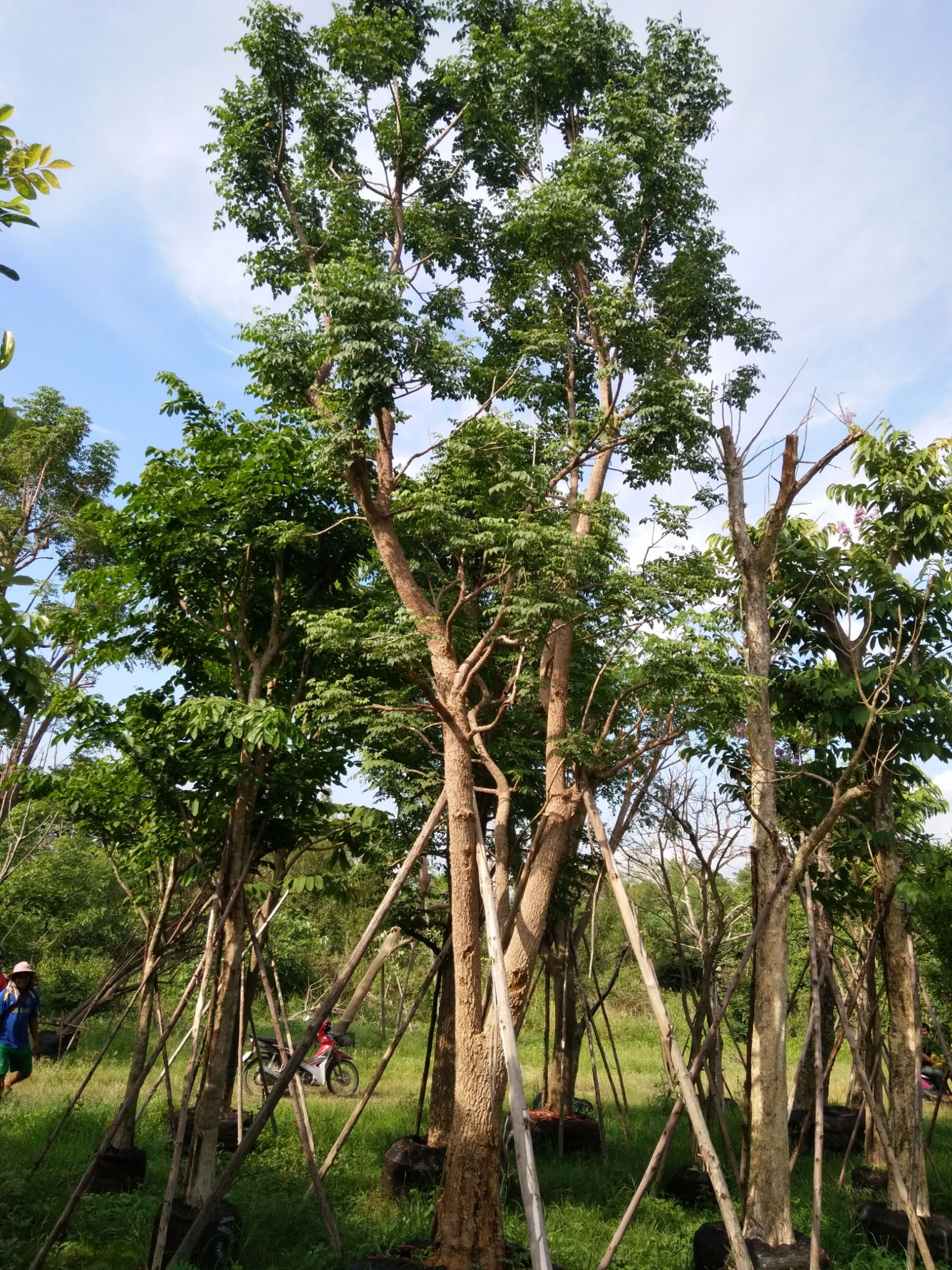 4. ต้นปีบ