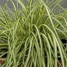 https://www.vitroflora.pl/img/produkty/rosliny/_137X137/byliny-i-trawy_carex_79047_2.jpg