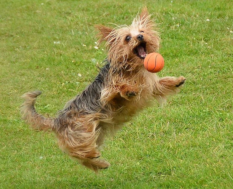 yorkie-ball-1.jpg