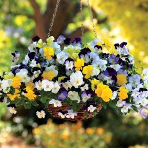 Image result for pansy cool wave mix