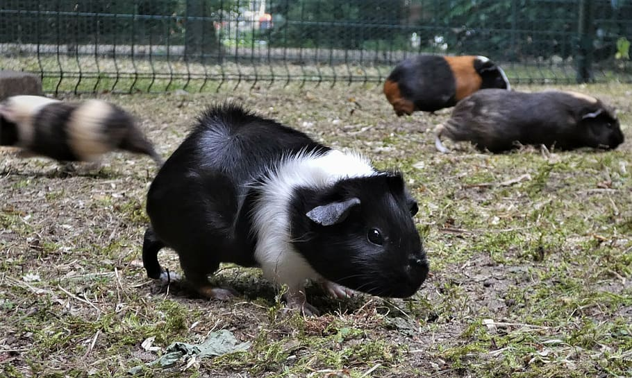 cage for 2 guinea pigs