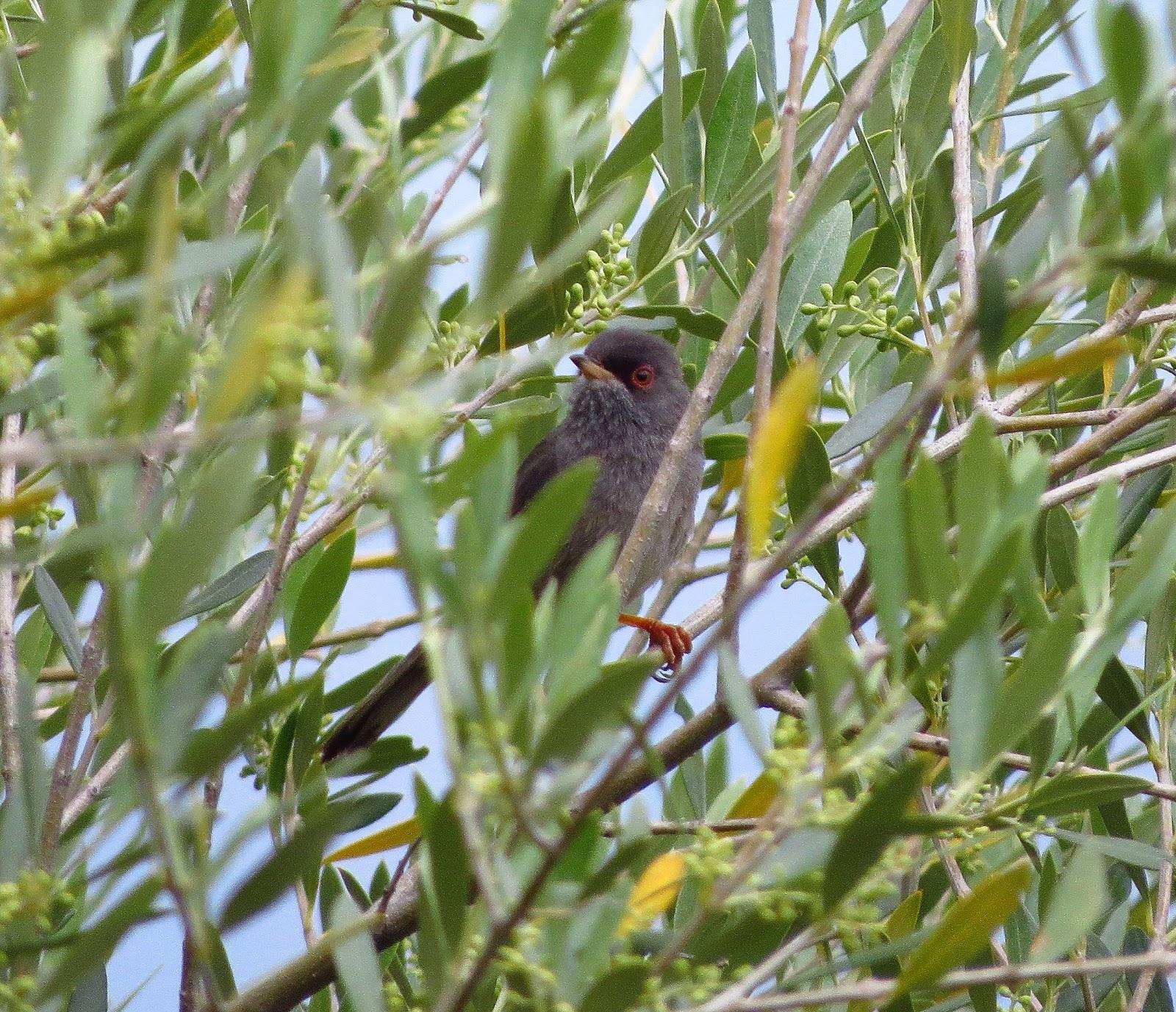 Mamora's warbler.jpg