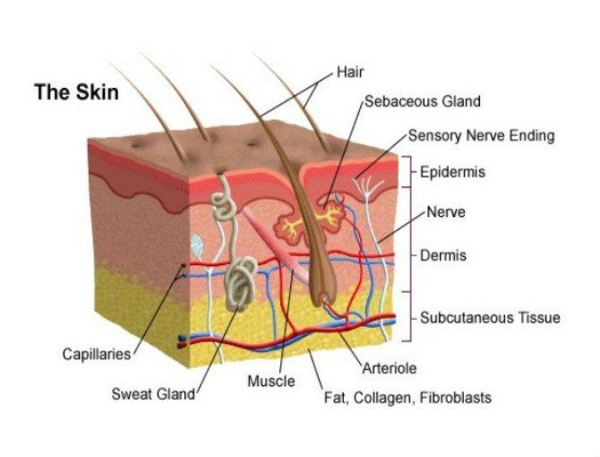 Haarmuskel