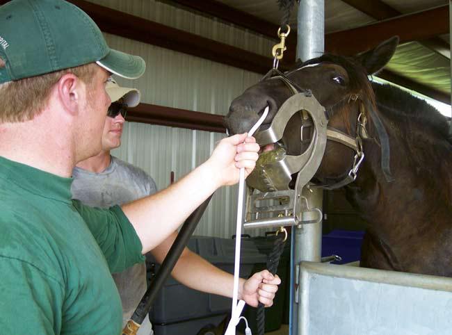 Sostener la cabeza del caballo en extensión facilita el pasaje ciego del catéter a través de la nasofaringe