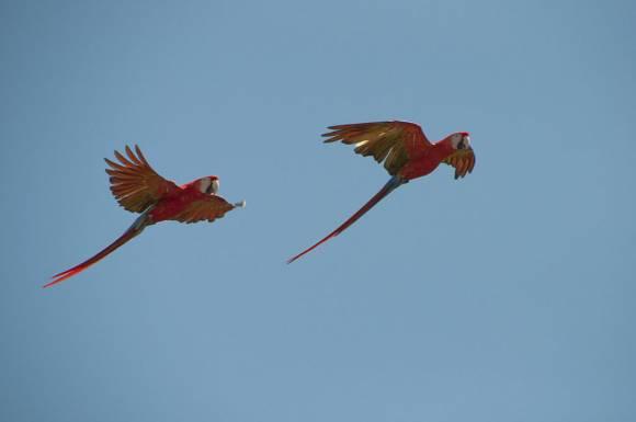 1024px-Ara_macao_-San_Diego_Zoo,_Florida,_USA-8a_(3)