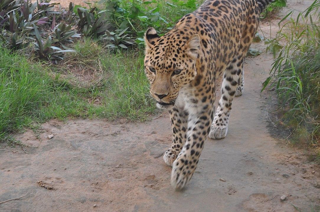 1084px-Arabian_Leopard_(16444037495).jpg