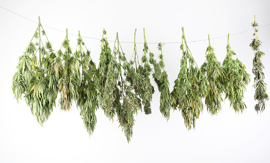 There are several ways to stop bud rot when drying marijuana.