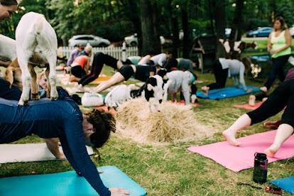 Goat Yoga - Photo Credit: Kelsey Stevens Photography