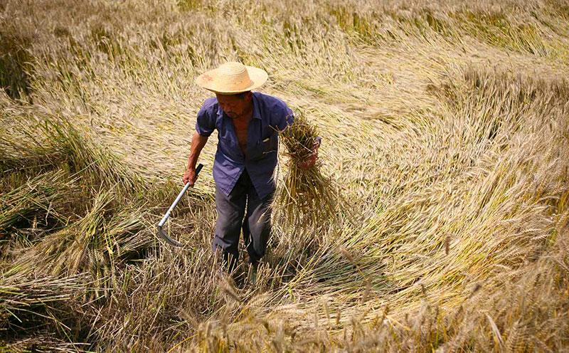 man working wheat fields