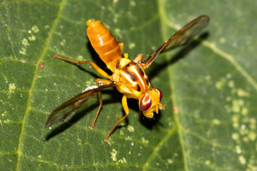 Moscas-das-frutas atacam quase todas as espécies de cítricos. (Fonte: Shutterstock/Isis Medri/Reprodução)