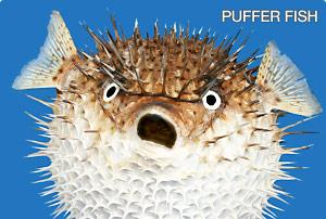 Description: Description: http://media.pluspets.com/i/breeds/puffer-fish.jpg