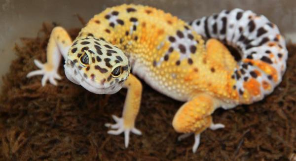 File:Exotic-pet-reptile-leopard-gecko-.jpg - Wikimedia Commons