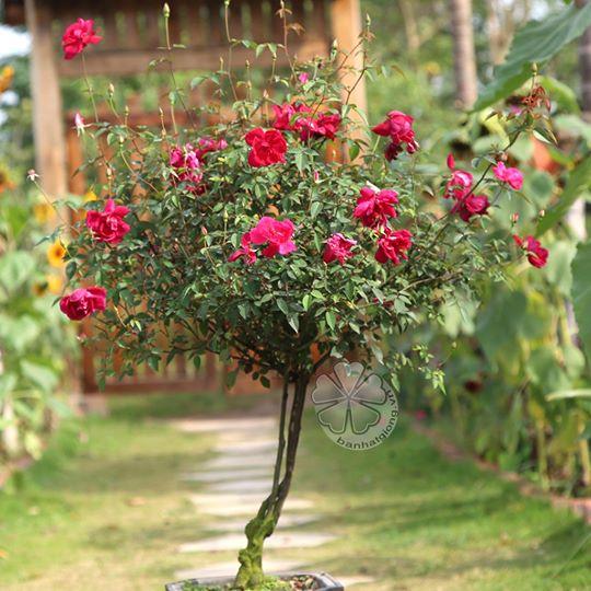 HỒNG THÂN GỖ (tree rose, hồng mini) 30k/gói