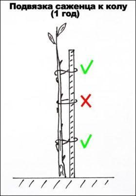 Особенности посадки (сроки, подготовка участка, выбор саженцев, пошаговый процесс)