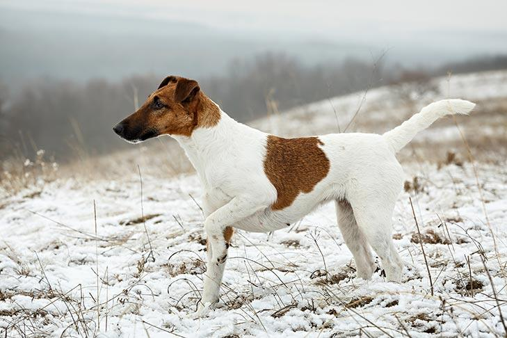Smooth Fox Terrier Dog Breed Information