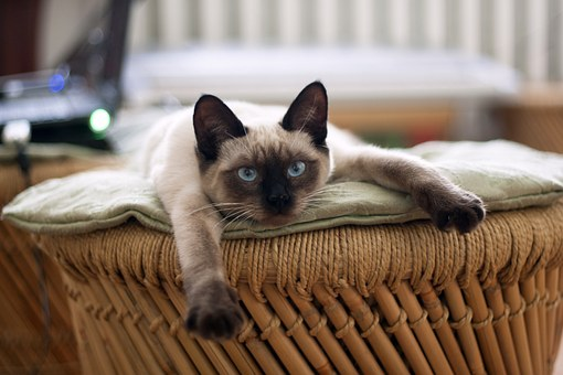 The Siamese Cats - Do You Want One?