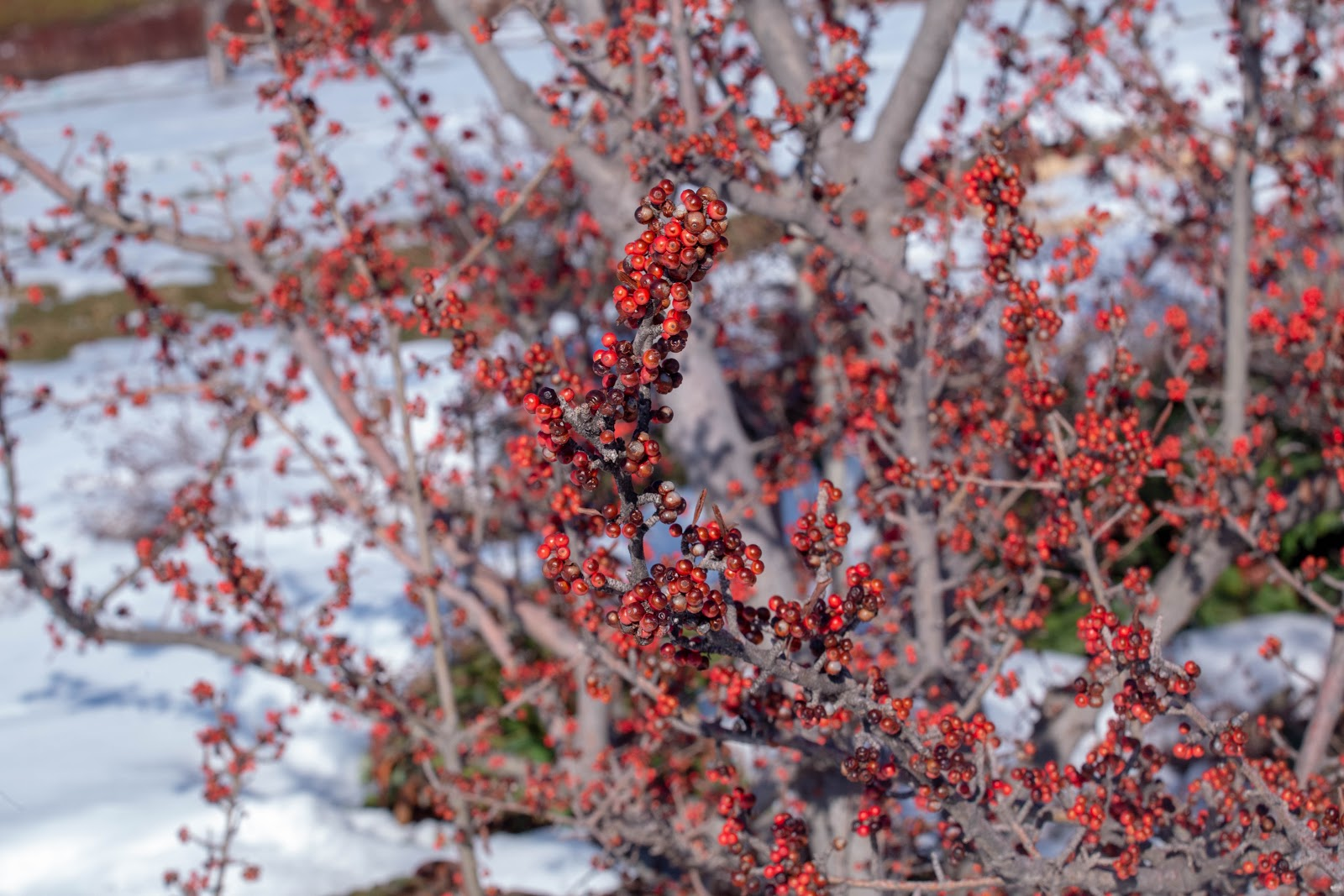 Holly berries in the Four Seasons Garden at Red Butte Garden. KUED, All Rights Reserved.