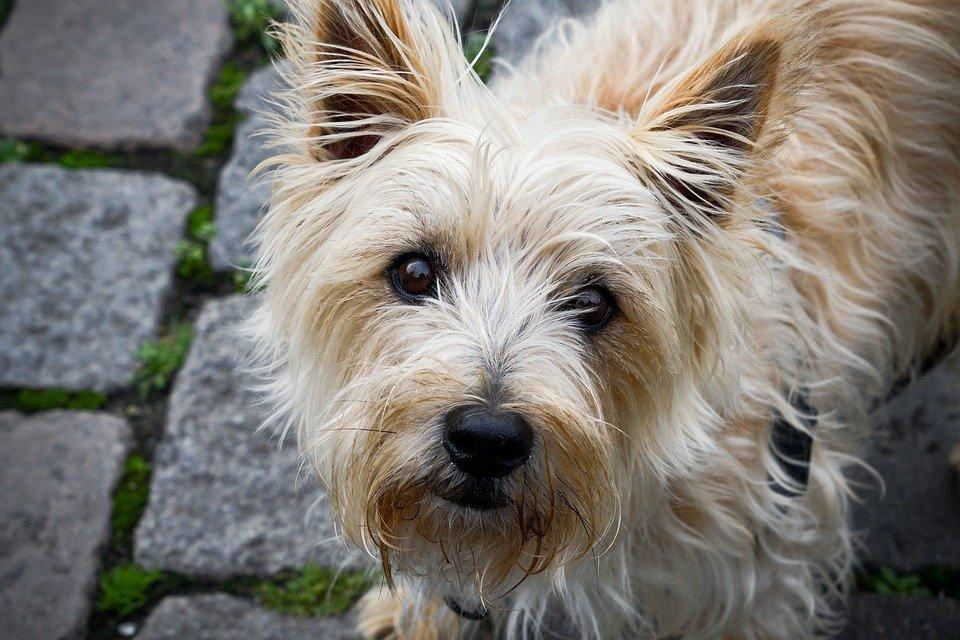 Dog, Pet, Animal, Cairn Terrier, Domestic Dog, Canine