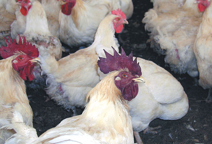 Developed comb and wattles in the rooster (foreground) and hen are shown