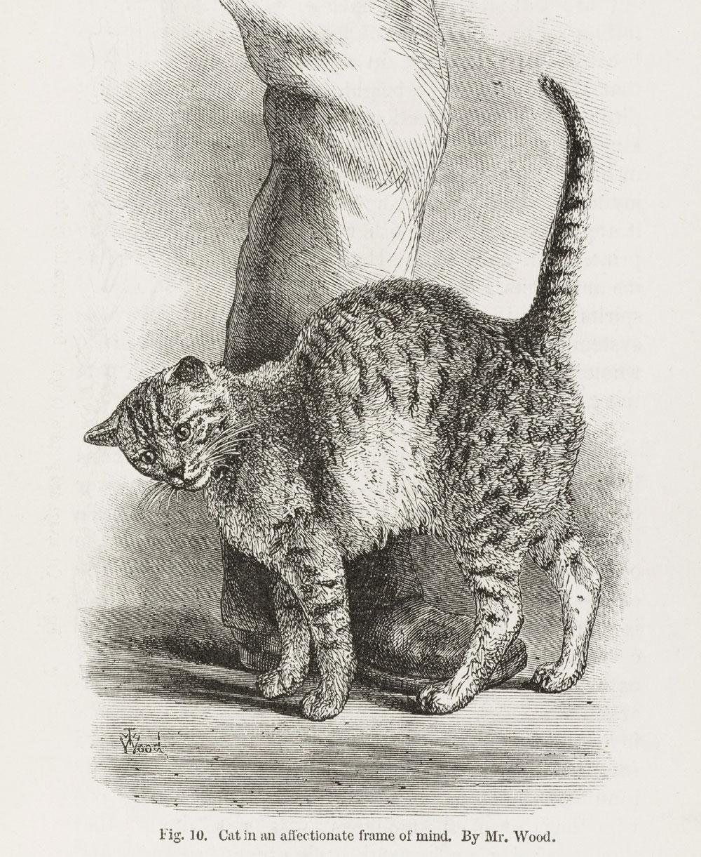 Affectionate_cat_from_Darwi.jpg
