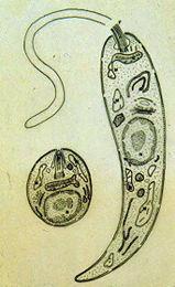 Resultado de imagem para leishmania amastigota e promastigota