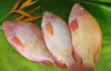 canh chua cá diêu hồng 6