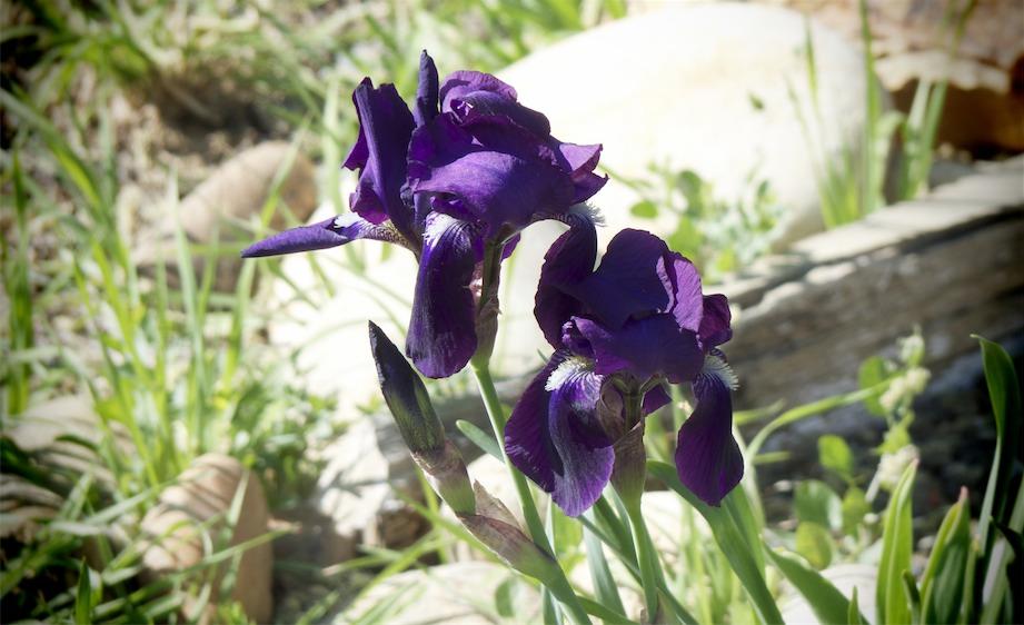 Purple Iris's.jpg