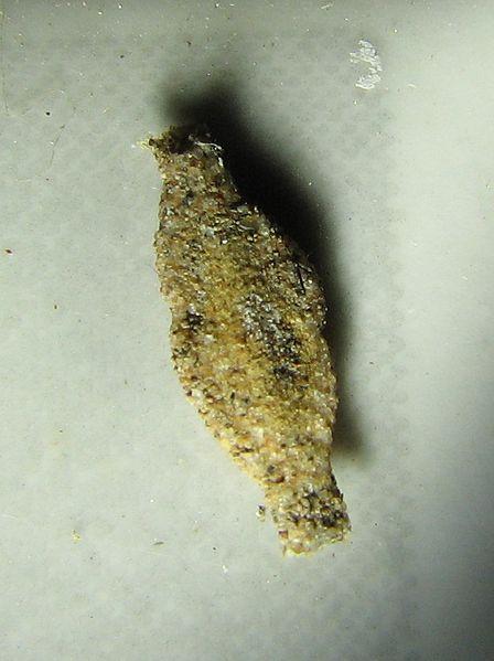 File:Phereoeca uterella Pantanal.jpg
