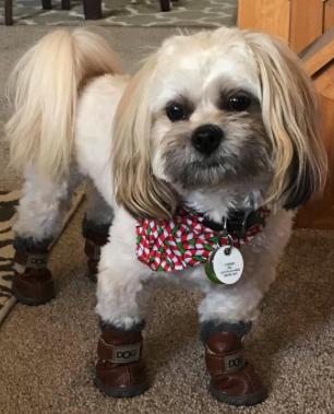 dog wearing winter booties